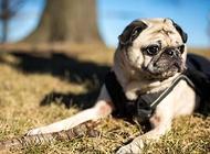 狗狗得了犬球虫病怎么办 犬球虫病怎么治疗