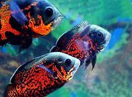 地图鱼不吃食的原因都有哪些?
