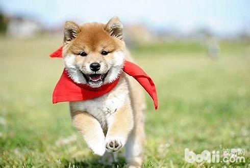 豆柴犬多少钱一只 豆柴犬和柴犬的区别