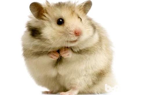 养仓鼠是否会染上鼠疫 养仓鼠安全吗