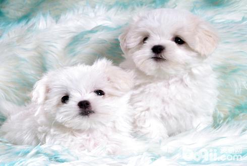为何你家幼犬狗狗常生病了呢?喂食狗狗蛋白粉增强免疫