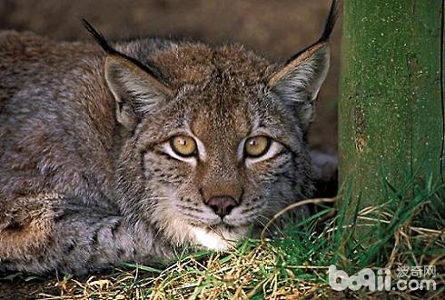 世界十大禁养名猫 你见过几种呢