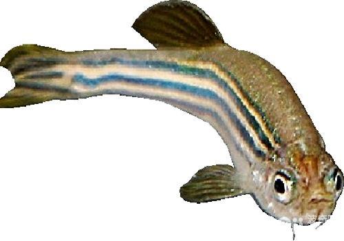 斑马鱼寿命有多长 斑马鱼能活多久