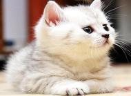 茶杯猫多少钱一只 茶杯猫价格