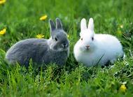 兔子拉稀怎么办 兔子拉稀的原因有哪些