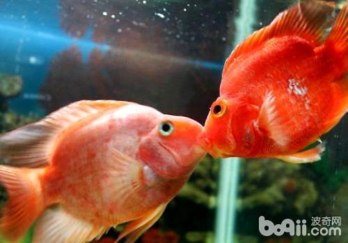 接吻鱼怎么养,接吻鱼饲养方式