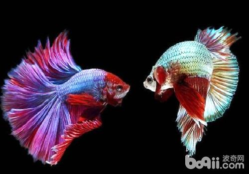 泰国斗鱼繁殖过程介绍