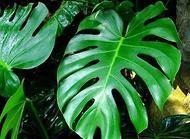 龟背竹的养殖方法和注意事项 龟背竹可以去甲醛吗