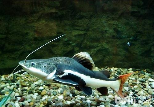 招财猫鱼能长多大 招财猫鱼饲养须知