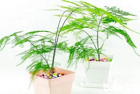 文竹怎么养 文竹的养殖方法和注意事项