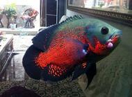 地图鱼吃什么地图鱼喂养方式