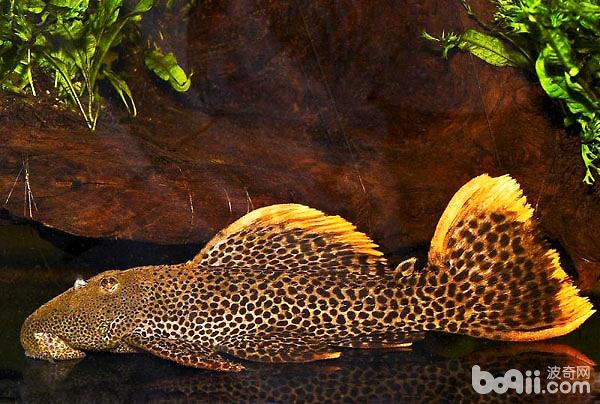 异型观赏鱼种类都有哪些?
