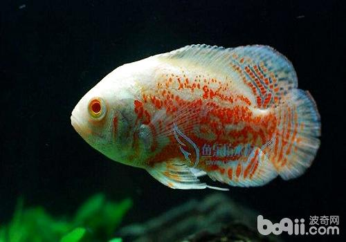 饲养地图鱼水温多少最合适?