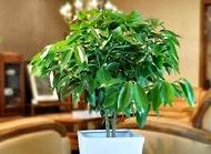 平安树怎么养 平安树的养殖方法和注意事项