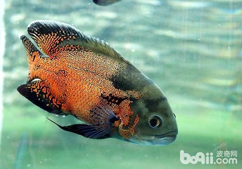 地图鱼能长多大 地图鱼吃什么长得快