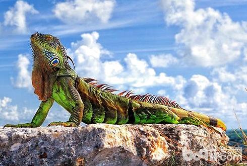 绿鬣蜥吃什么 绿鬣蜥吃什么长得快