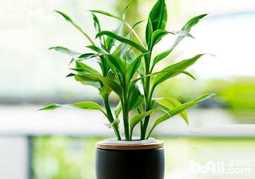 富贵竹叶子发黄怎么办?