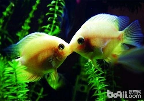 接吻鱼不接吻的原因都有哪些?女生120v原因斤图片