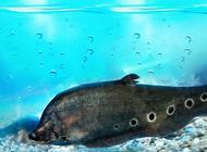 七星刀鱼混养的注意事项有哪些?