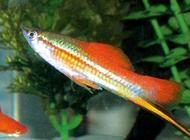 红剑鱼怎么养  红剑鱼饲养方式