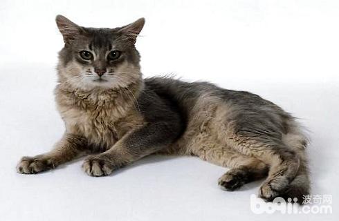 索马里猫1.jpg