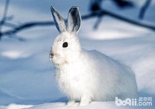 如何饲养宠物兔