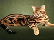 孟加拉豹猫你不知道的这些事?