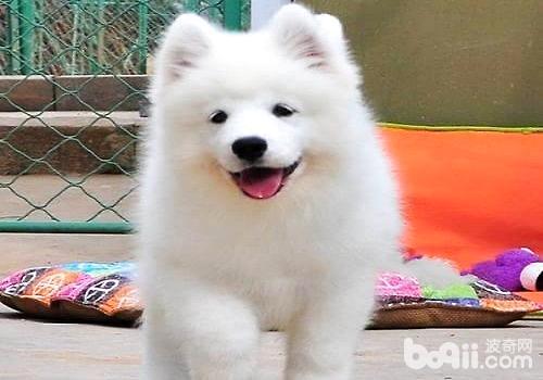 萨摩耶幼犬.jpg