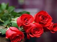 玫瑰花怎么养?玫瑰花保鲜方法