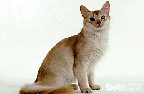 索马里猫.jpg