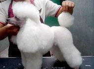 贵宾犬在家怎么洗护?