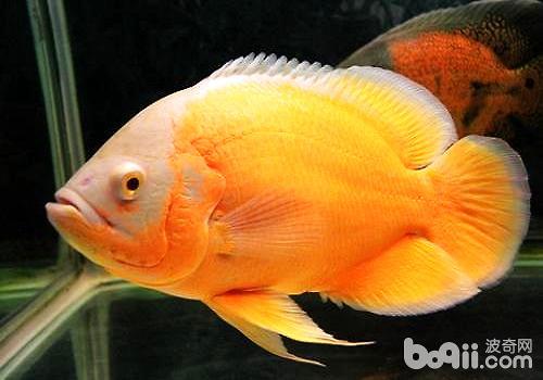 地图鱼不吃东西