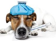 怎么判断狗狗发烧?如何应急处理?
