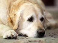 狗瘟晚期有什么症状?狗瘟晚期症状