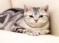 虎斑猫价格多少?虎斑猫价格介绍