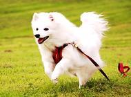 日本狐狸犬介绍,日本狐狸犬选购技巧