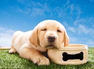金毛幼犬什么时候断奶?