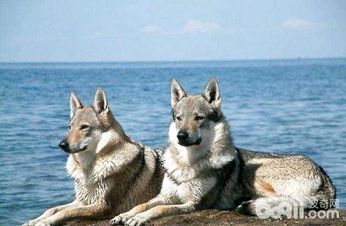 世界最贵的狗狗排行榜,你认识哪些?-轻博客