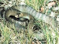 世界上什么蛇最毒?毒蛇排行榜