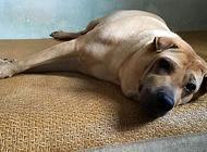 狗狗身上得了螨虫怎么治疗?