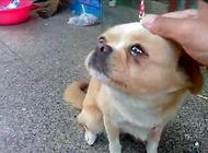 小狗眼泪多是怎么回事?小狗最近眼泪多