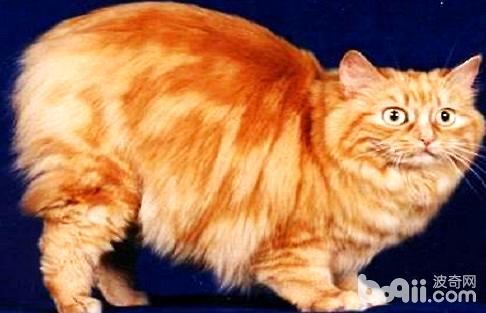曼克斯猫好养吗