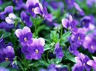 紫罗兰花怎么养?紫罗兰花养殖技巧