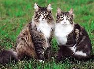 缅因猫多少钱一只?缅因猫价格盘点
