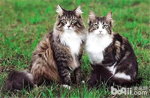 缅因猫多少钱一只