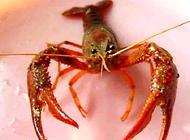龙虾吃什么?龙虾吃什么长得快?