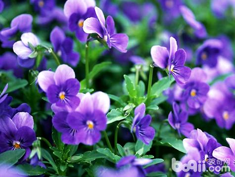 紫罗兰1.jpg