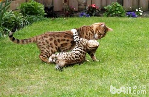 豹貓多少錢一只