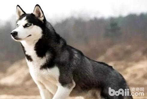 哈士奇外表出众英俊不凡,是很多人理想的宠物犬。而且它们性格非常二,经常做出滑稽惹人发笑的事情,带给家庭很多欢乐。买哈士奇要多少钱一只