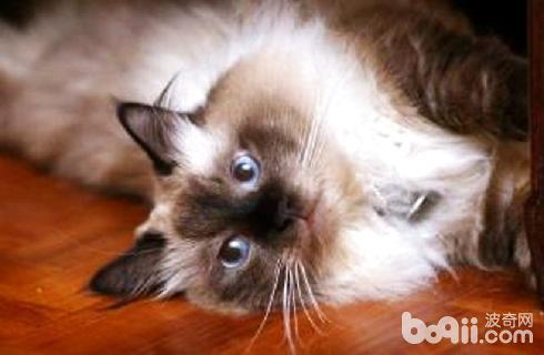 巴曼猫多少钱一只